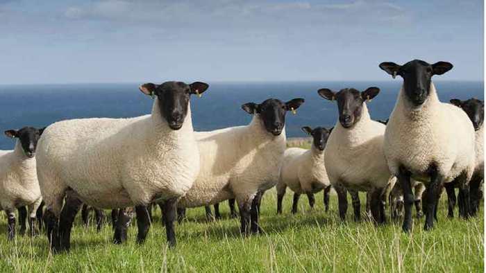 010816-suffolk-sheep-cRex